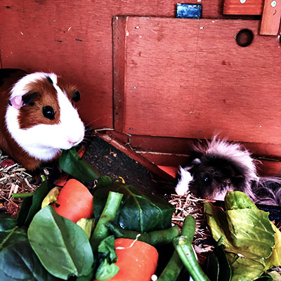 Guinea Pigs - Pet and Animal Care Sydney