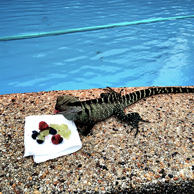 Lizard by the pool - Pet and Animal Care Sydney